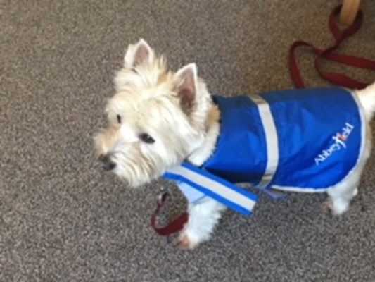 A white dog with a blue Abbeyfield coat on