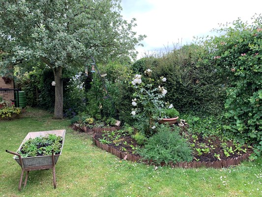 Raised flower beds and wheelbarrow with plants in the garden