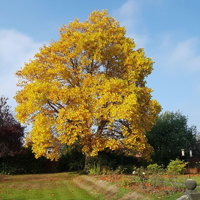A large autumnal tree with yellow leaves