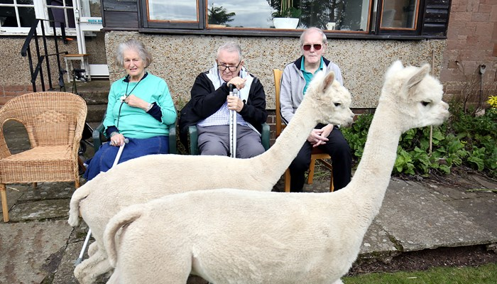 Alpacas become residents at Bamburgh retirement home