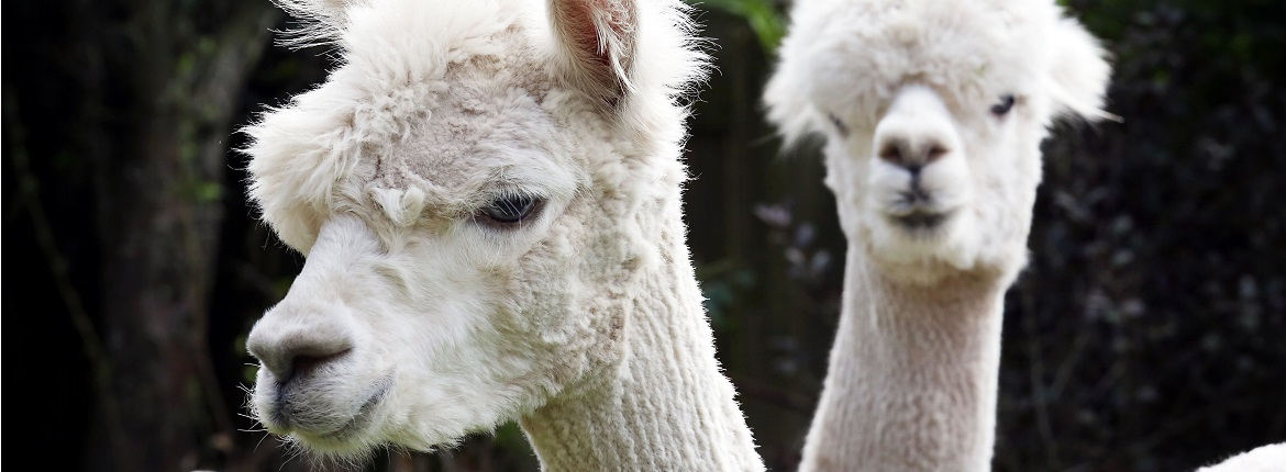 alpacas bringing benefits to bamburgh retirement home